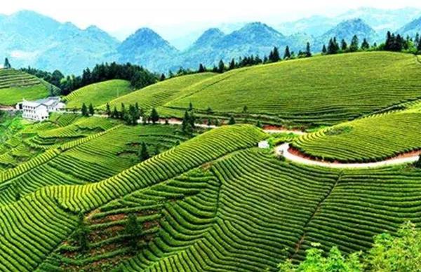 大悟县征集茶文化旅游节宣传语和形象标识 万元大奖等你来拿